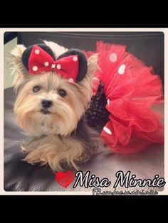 Yorkie - Misa Minnie.