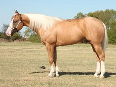 2007 palomino stallion, NRBC Champion, sired by Smart Chic Olena out of Ebony Shines