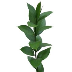 Israeli Ruscus ideal for your Wedding Bouquet and arrangements Costco Flowers, Fresh Flowers, Beautiful Flowers, Flower Arranging Courses, Floral Wedding, Wedding Flowers, Wedding Bouquet, Flower Boquet, Flower Names