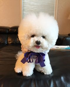 See this Instagram photo by @bichon_tori • 6,599 likes