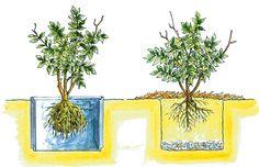 Pestovanie čučoriedok vzáhradkách 4