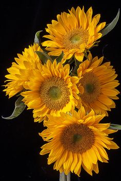Five Sunflowers, #macro, #floral