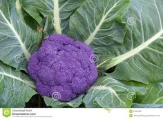 Photo about The close-up of purple cauliflower. Image of cauliflower, natural, crop - 21954359 Purple Cauliflower, Edible Flowers, Gardening Tips, Vegetables, Nature, Image, Naturaleza, Vegetable Recipes, Natural