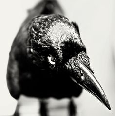 crow   # Pin++ for Pinterest #