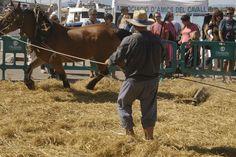 El procés de batre l'arròs per separar el gra és molt complex. Primer es fan voltar les cavalleries en cercle amb el rodolí Horses, Animals, Animais, Animales, Animaux, Animal, Horse, Dieren