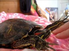 my red eared slider turtle Raphael fluttering at various things - a highly typical slider behavior