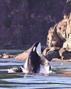 Meet a Killer Whale... like Jesse from Free Willy ;)
