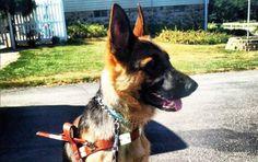 Meet Diamond, the new guide dog! Isn't she pretty? http://blog.sergeants.com/2012/09/07/quide-dog/ #phcblog