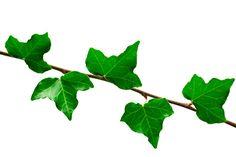 La hiedra común (también denominada yedra común) es una planta trepadora de hojas perennes ampliamente utilizada con fines medicinales. Suele cultivarse en jardines y parques, pero también crece muchas veces silvestre formando extensas alfombras en e