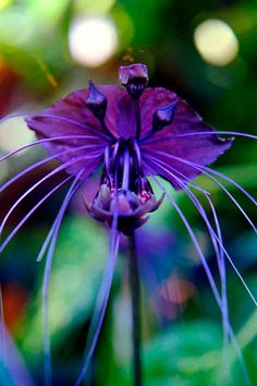 Black Bat Flower ~ Flower photography ~ Exotic wild dark purple flower photo ~ Fine art photography ~ Grown and photographed in Hawaii ~ Wild nature photography ~ Bat plant photograph ~ Violet flower ~ Nature photography ~ Photography fine art ~ Made in Hawaii  The Bat flower's violet black color and long whiskers make it one of Hawaii's most unusual and sought after plants. They are hard to grow in most places but do fairly well here in a tropical environment.  See my entire selection of…