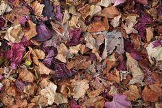 Autumn leaves on the ground at a winery near Stanthorpe Golden Leaves, Autumn Leaves, Pick Your Own Apples, Golden Oak, Sunshine Coast, Granite, Colours, Seasons, Belt