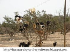 Tree climbing goats of Africa. Goats will eat anything