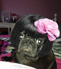 Black Pug Pink Rose