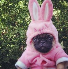 bunny pug :-) And boy is he super happy!!!!! #easterdog