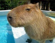A Capybara in the swimming pool.