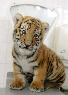 Six week old Siberian tiger cub 'Antares' is presented at the Tierpark Friedrichsfelde zoo in Berlin August Baby Tigers, Cute Tigers, Tiger Pictures, Animal Pictures, Beautiful Cats, Animals Beautiful, Cute Baby Animals, Animals And Pets, Wild Animals