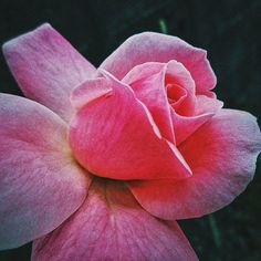 Repost a new photo taken by yuriko_sasa0309! この前撮影のピンクの薔薇 やっぱり素敵ですねマクロ撮影がんばります I took that pink rose  . It's very beautiful and I will practice to take pictures by macro. #igersjp #ig_japan #rose #薔薇#pink#macro #マクロ#vscocam #LOVES_FLOWERS_ #team_jp_flower #twerking_flowers #はなまっぷ #fotografinhikayesi #gulumseaska #worldmastershotz_asia #people_and_world #ig_photostudio #main_vision #byfolk #Super_Asia_ #9vaga9 #写真好きな人と繋がりたい #カメラ女子 #カメラ散歩倶楽部 #igs_asia #jp_gallery #gf_japan #ig_shotz #ig_alls…