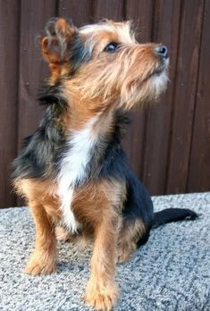 18 Jack Russell Terrier Mixes: Perfect Pups For Your Home! Yorkshire Terrier, Norwich Terrier Puppy, Chihuahua Terrier Mix, Chihuahua Dogs, Jack Russell Terriers, Jack Russell Mix, Border Terrier, Poodle Mix Breeds, Dog Breeds