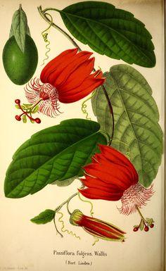 Passiflora coccinea - circa 1866