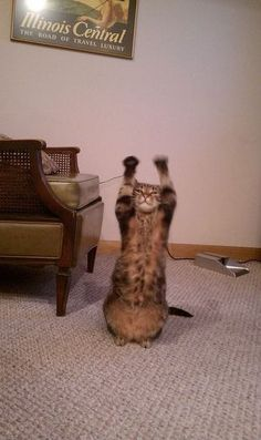 Raise the Roof , Yall! Funny Cat Jokes, Funny Captions, Funny Cats, Funny Animals, Animal Pics, Funny Animal Pictures, Cat And Dog Photos, Little Critter, I Give Up