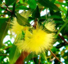 Yellow eucalyptus tree blossom.