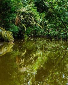 Take a #jungle #cruise through the winding #mangrove #estuaries of #Tortuguero National Park. Photo from @manatuscostarica #lodge! #CostaRicaExperts #Vacations #CostaRica