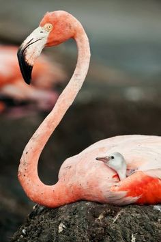 Caribbean Flamingo with baby in her nest
