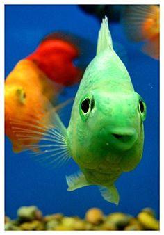 Parrotfishes    freshwater