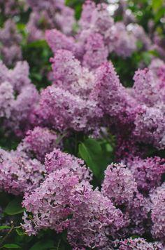 Milli Vedder Landscape Photography, Purple, Nature, Flowers, Bible, Gardens, Colorful, Design, Plants