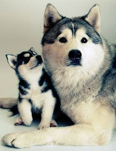 Husky puppy and mama