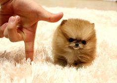 Résultat d'images pour micro Minnie Pomeranian Teacup Pomeranian Puppy, Cute Teacup Puppies, Tiny Puppies, Cute Dogs And Puppies, Baby Dogs, Doggies, Lab Puppies, Puppy Husky, Baby Chihuahua