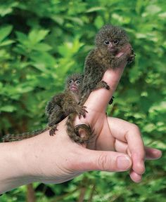 Peruvian Rainforest - Home to thousands of different animal species, including the pygmy marmoset, world's smallest monkey! Cute Little Animals, Cute Funny Animals, Primates, Mammals, Nature Animals, Animals And Pets, Strange Animals, Small Animals, Wild Animals