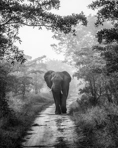 MOODY WALK by Jaco Marx Elephant, monochrome, Sabi Sands, South Africa. Jaco Marx: Photos #animals #photography
