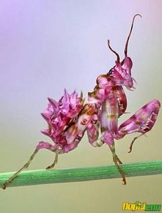 "Seeing things suggests: In case some of the orchid ""creatures"" look too abstract to threaten hungry insects, consider the orchid mantis. Cool Insects, Bugs And Insects, Beautiful Bugs, Amazing Nature, Beautiful Creatures, Animals Beautiful, Orchid Mantis, Cool Bugs, A Bug's Life"