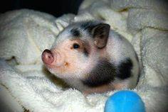 Here is Kellys baby pig!
