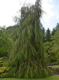 New in the nursery at Westport Winery Garden Resort: Whipcord Lawson Cypress (Chamaecyparis lawsoniana 'Imbricata Pendula'). This small conifer features slender green foliage and a softly weeping habit. It prefers full sun in well-drained soil as it grows to 8' tall x 3' wide in 10 years. Hardy to -20 degrees. USDA zone 5. We are open daily from 8am to 7pm.