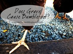 Does Gravel Cause Bumblefoot in chickens? Answers >