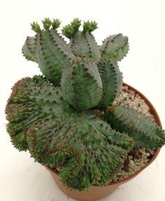 Euphorbia Obesa x Meloformis Crested 10cm pot ø on roots.No ariocarpus | eBay