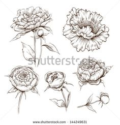 Peony Stock Photos, Illustrations, and Vector Art