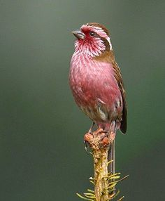10 Dazzling Pink-colored Birds ~ Himalayan White Browed Rosefinch