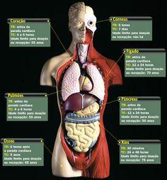 Localização dos orgãos no corpo humano - Imagui