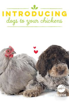 """Lagotto Romagnolo Pup ~ Classic """"Stupid Rooster"""" Look Cochin Chickens, Pet Chickens, How To Introduce Dogs, How To Introduce Yourself, Keeping Chickens, Raising Chickens, Backyard Chicken Coops, Chickens Backyard, Best Dog Breeds"""
