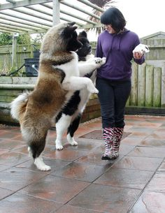 "Akita's! Beautiful!  THIS IS A BEAUTIFUL ""BEAR"" AKITA.... size: large exercise: high grooming: low trainability: very easy"