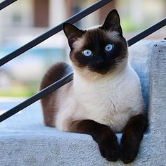 Siamese pet cats might be best recognized for their streamlined, more efficient body, frothy jackets Siamese Kittens, Cute Kittens, Cats And Kittens, Bengal Cats, Pretty Cats, Beautiful Cats, Animals Beautiful, Pretty Kitty, Cat Art