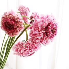 So in love with these frilly pincushions   #flowers #floralfix #flowersofinstagram  #floral #pretty #allthingsbotanical  #sydneyflorist  #floweroftheday #calledtobecreative #mybeautifulmess #livecreatively #flashesofdelight  #lovelysquares #pursuepretty #pink #vscoflowers  #slowfloralstyle #dspink #stylingtheseasons #floralfridaycompetition  #petalsandprops #softdreamyphotography #floralperfection