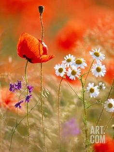 Poppy, camomile and larkspur Photographic Print by Herbert Kehrer at Art.com
