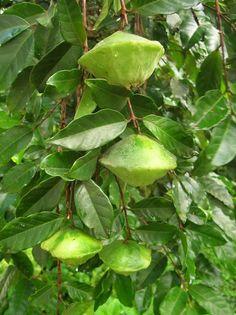 Cambuci fruta. Fruit from Brazil