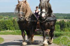 Upon Titeuf and  Trait Breton stallions Author: Hermann