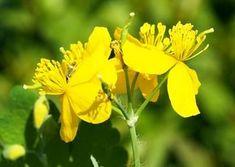 Szabadulj meg a szemölcstől! Natural Remedies, Flora, Cancer, Books, Medicine, Home, Therapy, Alcohol, Plant