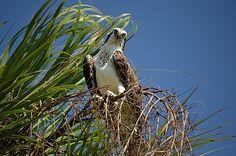 Inquisitive Osprey by Jenn Hicks